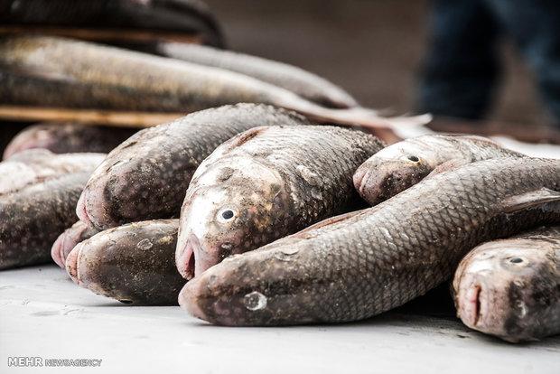 ۱۲ هزار تن ماهی از مزارع پرورش ماهی خرمشهر برداشت میشود