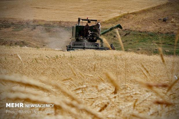 ذخیره ۸میلیون تنی گندم کشور/آغاز خرید تضمینی گندم از ۴ماه آینده