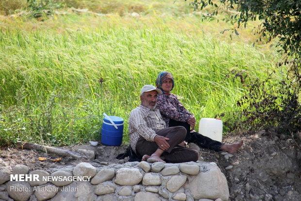 نان کشاورز گلستانی در خوشههای برنج/ کشت جایگزین نداریم