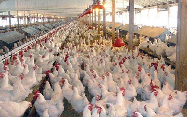 افتتاح مدرنترین مزرعه پرورش مرغ مادر گوشتی در شرق کشور