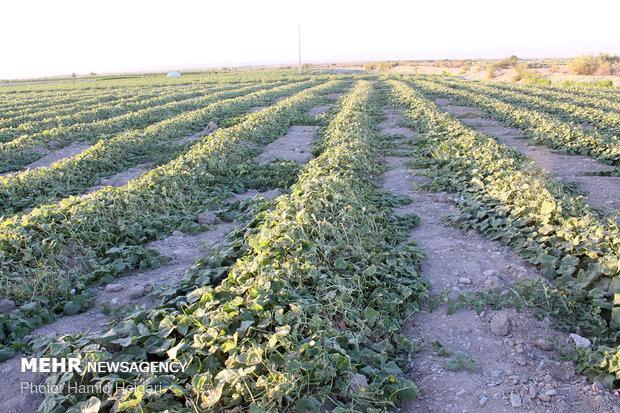 سیلاب ۲۳۰۰ میلیارد ریال به کشاورزی دزفول خسارت زد