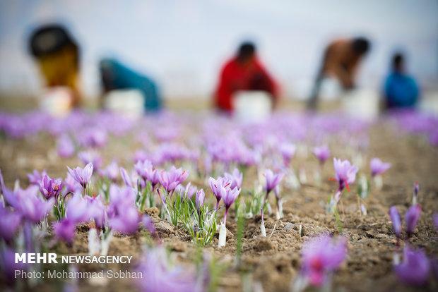 زعفران ایران را ۳۰۰ دلار میخرند ۷۰۰۰ دلار میفروشند
