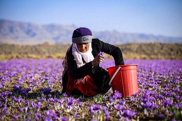 صادرات زعفران از سر گرفته شد/افزایش ۸ درصدی قیمتها